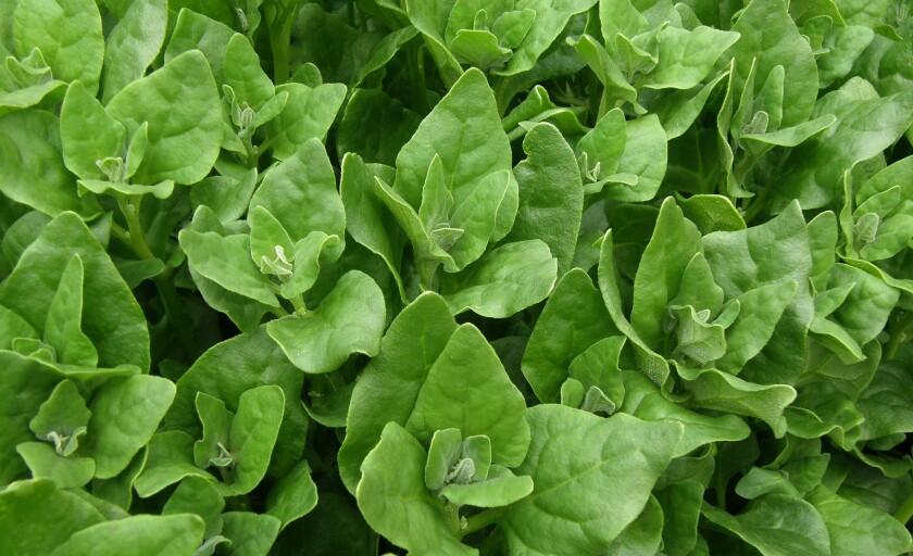 renee new zealand spinach.jpg