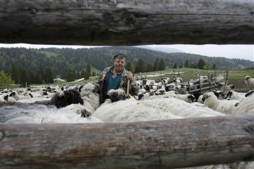 FOR STORY BALKANS LAST NOMADS - In this photos taken on Tuesday, May 21, 2013, Bosnian man Ramo Rubanovic, 48, whistles to his flock of sheep in a pen in the remote mountainous area at Vlasic in central Bosnia, near the town of Travnik 140 kms west of Sarajevo. Zedina Rubanovic and her family are some of Europe's last remaining nomads, a hardy group of families who roam from their winter habitat in the Bosnian lowlands to the mountains where they make cheese and shelter in austere cabins. This