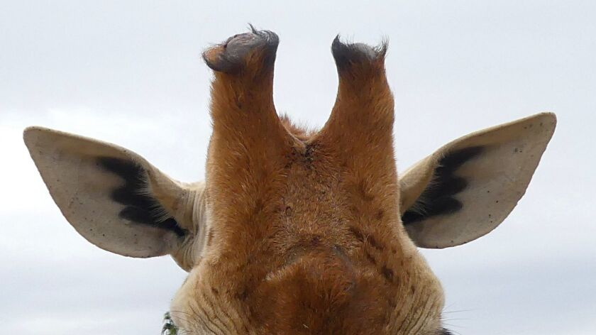 Giraffe horns are called ossicones. Two more can be seen in the extreme lower right.