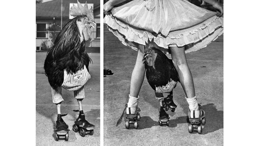 Aug. 17, 1952: Buster, a rooster owned by Billy Lehr, in roller skates during photo session with Los