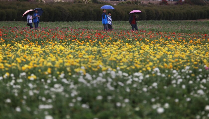 VIsitors to the Flower Fields in Carlsbad had to walk a bit to the western-most hillside to see the ranunculi that are presently blooming, but were rewarded with a colorful display. The rest of the fields are expected to bloom over the next few weeks.  The annual opening day, March 1, at the Carl
