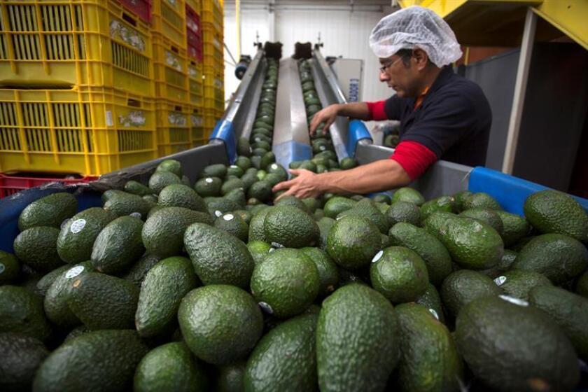 Empleados de una empacadora de Aguacate seleccionan el producto para su exportación a Estados Unidos en el municipio de Uruapan, en el estado de Michoacán (México). EFE