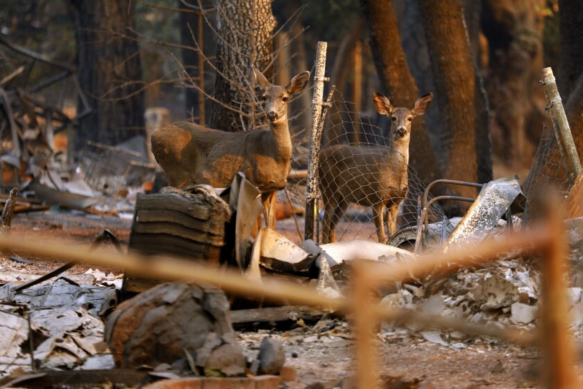 Two young deer stand in the rubble of a home in Paradise, Calif.