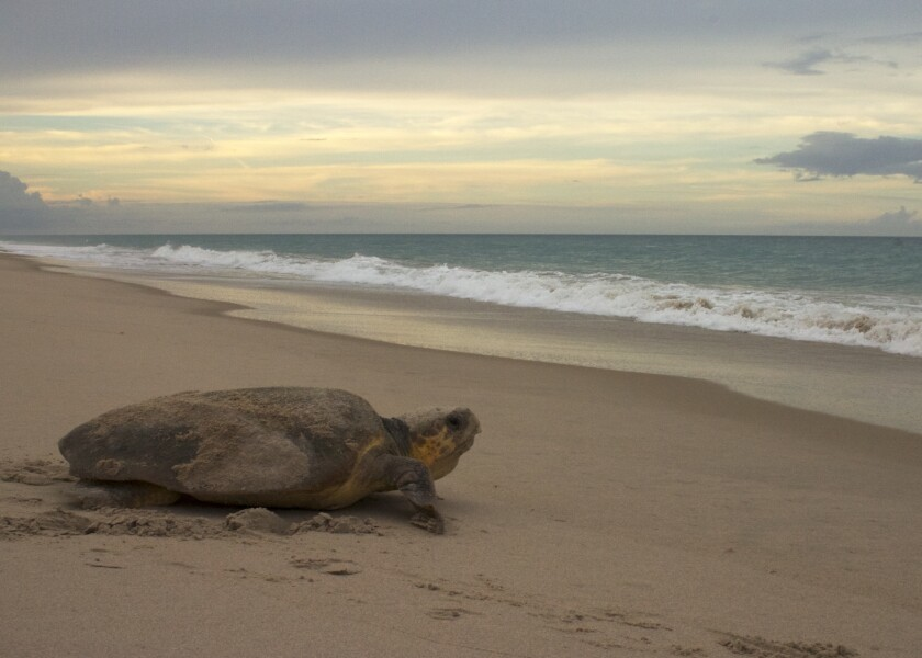A loggerhead sea turtle nesting in the Archie Carr National Wildlife Refuge in Melbourne Beach, Fla.