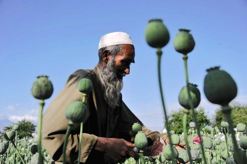 An Afghan farmer works in an opium poppy field in Nangarhar province in April. Opium poppy cultivation in Afghanistan reached a record high in 2013, the United Nations said Wednesday.
