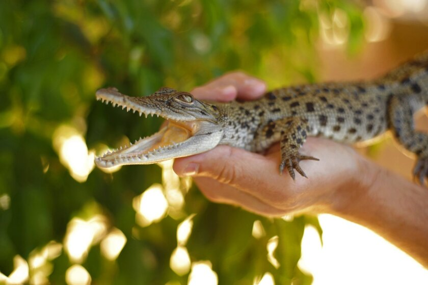 The genetic history of birds, published Thursday, relied in part on a new genome study of the crocodile.