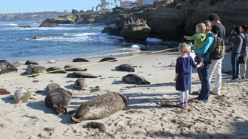 Childrens-Pool-closure-Pupping-seals-2