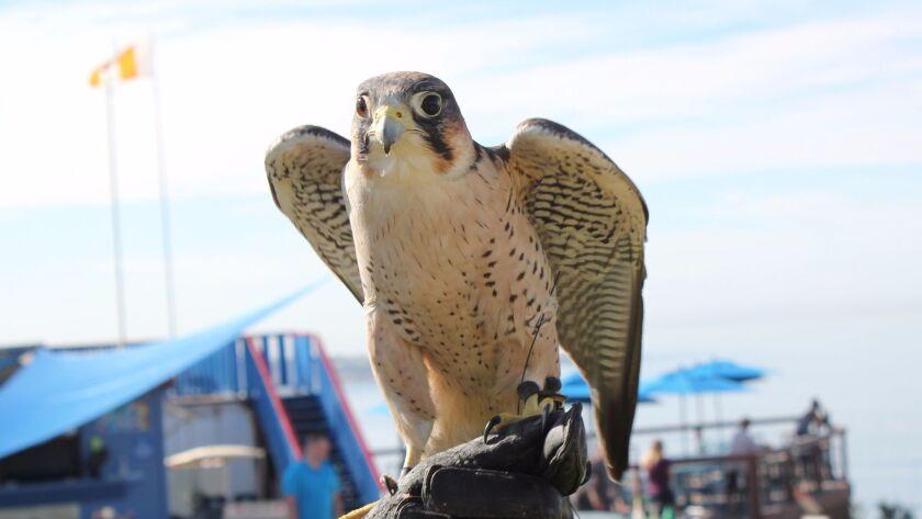 Bunco was Antonella Zampolli's first bird of prey.