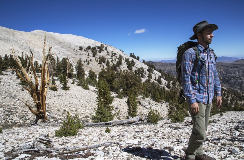 UC Davis and Montana State University ecologist Brian Smithers researches the world-famous bristlecone pines in the White Mountains, which face an uncertain future with climate change. UC announced Tuesday that it has fully divested from fossil fuels.
