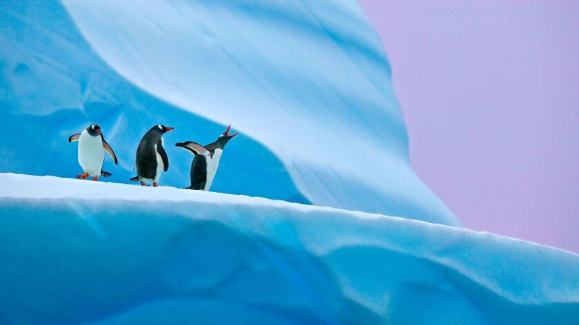Gentoo penguins on an iceberg at Mikkelsen Harbor, Antarctica.