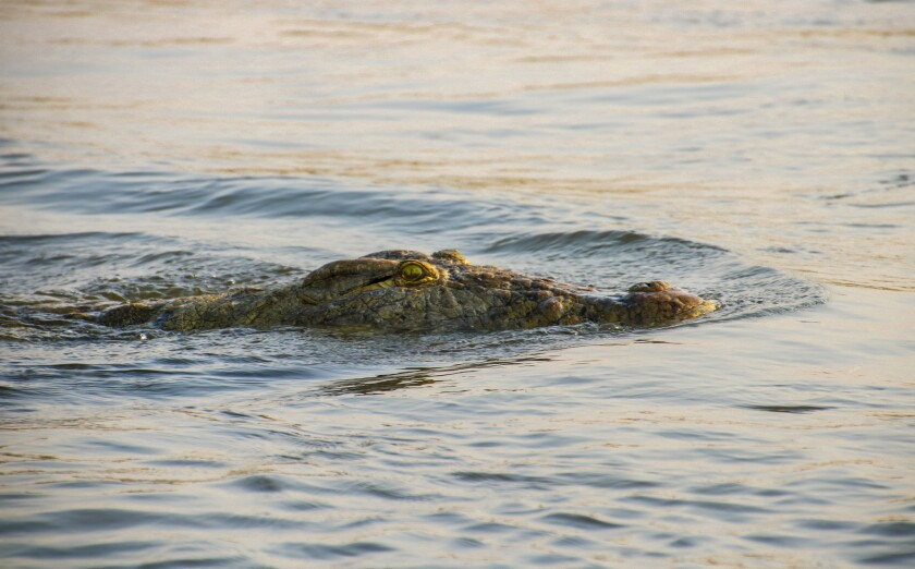 A crocodile quietly glides through the Zambezi River. The sight of one makes the heart race.