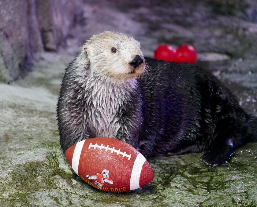 The second Otter Bowl — a football-like competition played with sea otters — is Sunday at Aquarium of the Pacific in Long Beach.