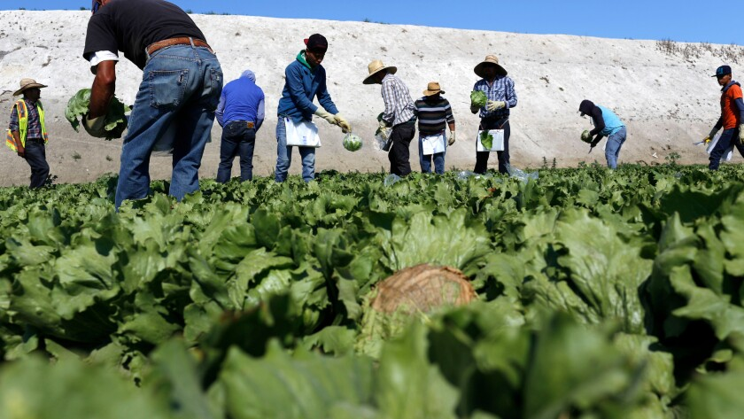Field workers on the job in Salinas, Calif.