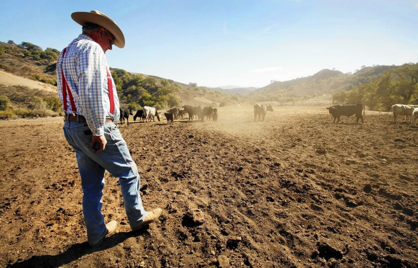 Santa Paula, Calif., cattle rancher Rob Frost inspects his dusty field in January, when it should have had 6 to 10 inches of grass for grazing. A federal government report on climate change projects that dry conditions will persist in California and other parts of the West.