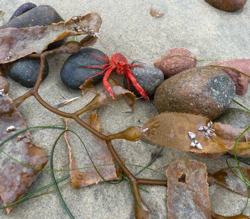 A crustacean among the kelp