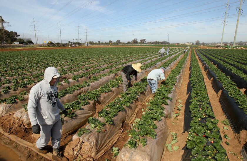 February 23, 2016, Carlsbad, California, USA_| Workers harvest strawberries at the Carlsbad Strawberry Fields. In the distance developer Rick Caruso wants to build a shopping center. |_Mandatory Photo Credit: Photo by Charlie Neuman/San Diego Union-Tribune/©2016 San Diego Union-Tribune, LLC