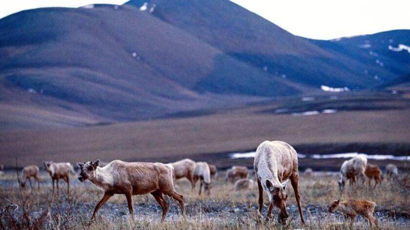 Caribou along the tundra of the Arctic National Wildlife Refuge on Dec. 1, 2003.