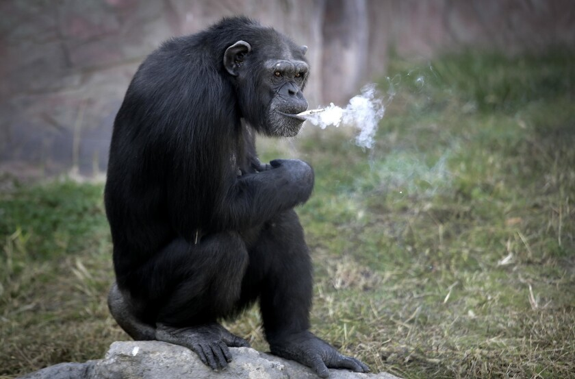"Azalea, a 19-year-old female chimpanzee whose Korean name is ""Dallae,"" smokes a cigarette at the Central Zoo in Pyongyang, North Korea, on Wednesday."