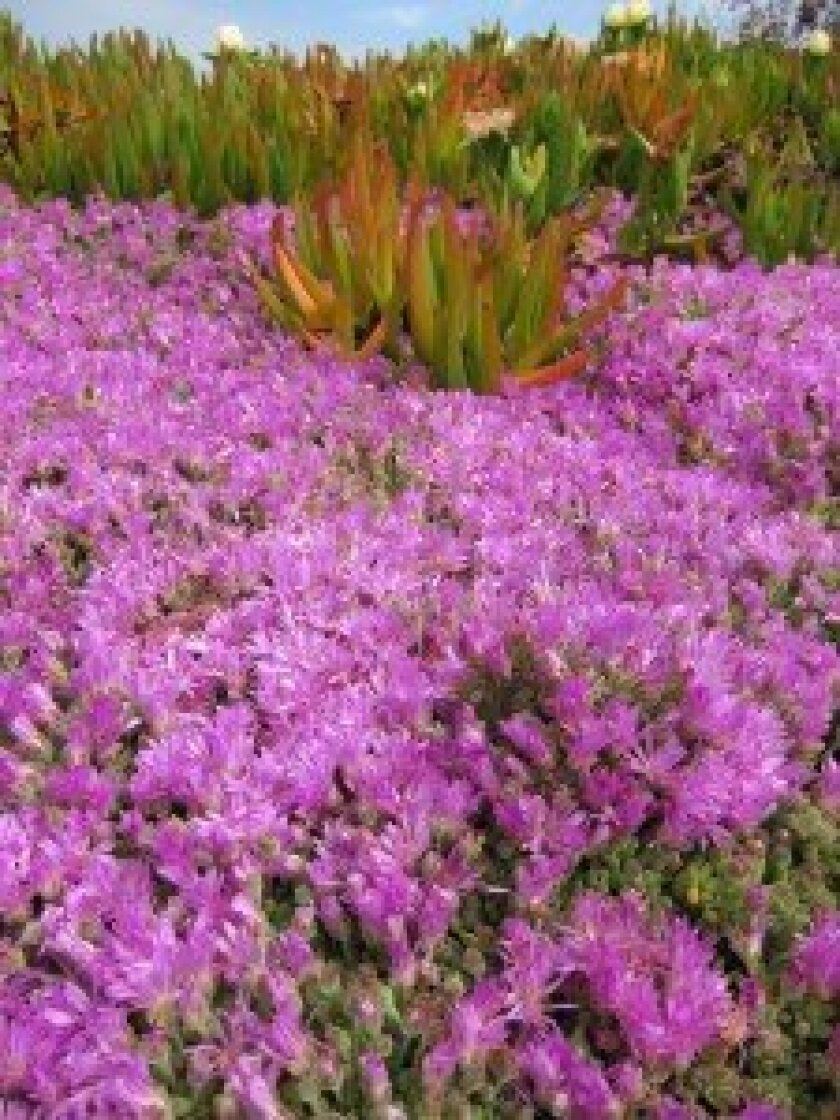 Two species of ice plant growing together; Hottentot Fig is in the background.