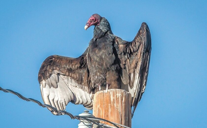 On cold mornings the turkey vulture will often perch with its wings spread to warm up before beginning to feed.