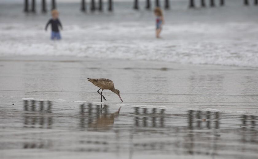 A sandpiper feeds near the Oceanside Pier