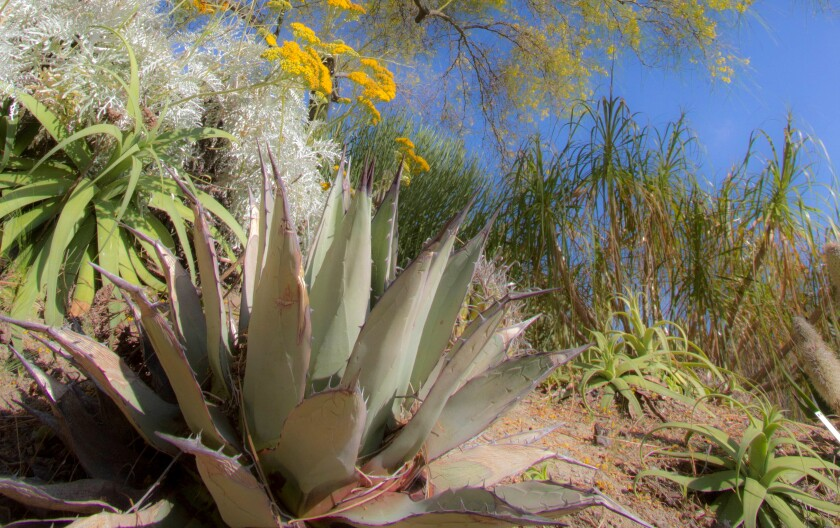 Drought tolerant native plants from San Diego and the Southwest at the San Diego Botanic Garden.