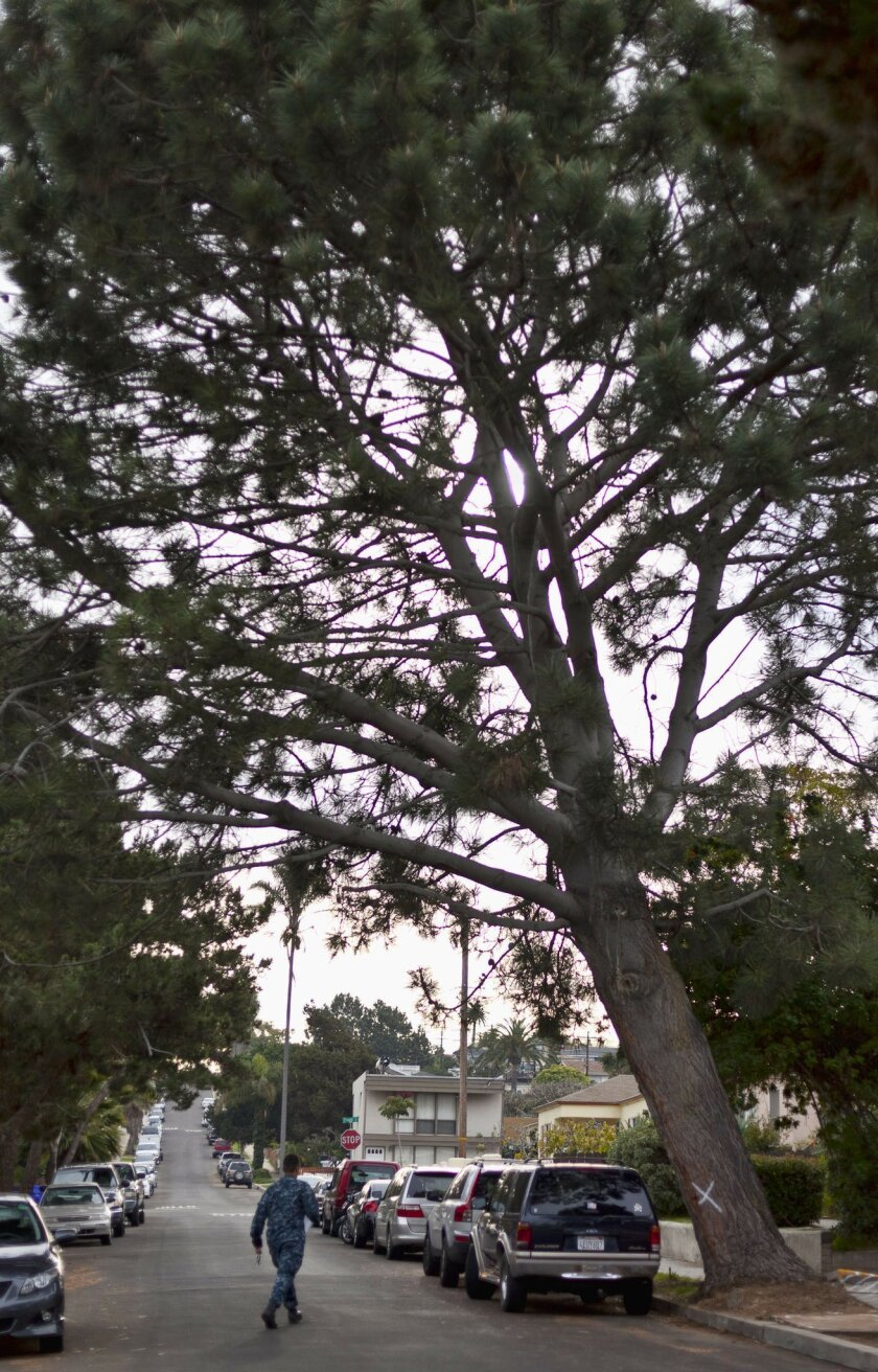 The 80-year-old Torrey pine tree is at 4633 Long Branch Ave. in Ocean Beach.