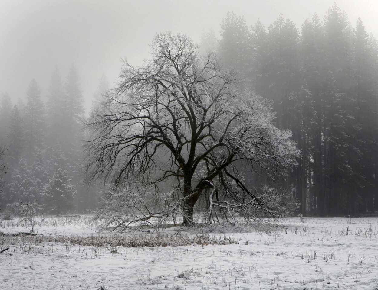 The iconic elm tree in Cook's Meadow in Yosemite Valley is shrouded by fog and fresh snow. Read Mark Boster's story on winter in Yosemite.
