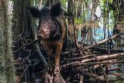Odd but true: Feral pigs take down ISIS fighters