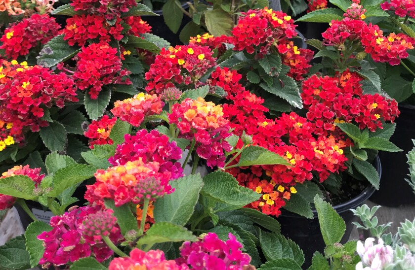 Colorful lantana is low maintenance and drought-tolerant.