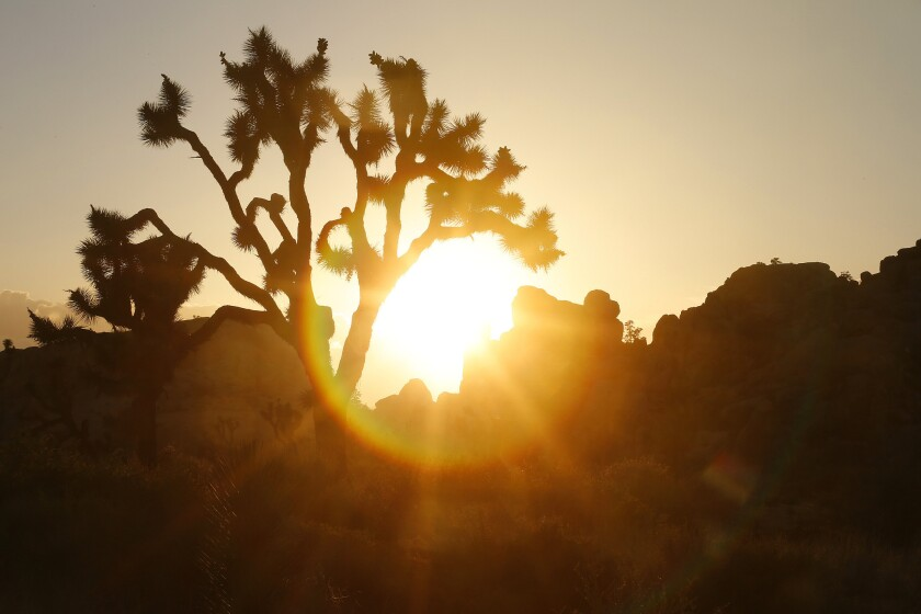 The sun looms behind a Joshua tree at the national park in a file photo.