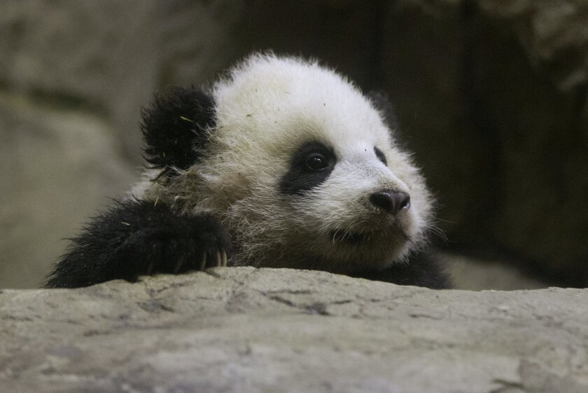 Bao Bao, the four and a half month old giant panda, makes her public debut at an indoor habitat at the National Zoo in Washington, Monday, Jan. 6, 2014. Bao Bao, who now weighs 16.9 pounds (7.65 kilograms), was born to the zoo's female giant panda Mei Xiang and male giant panda Tian Tian. (AP Photo/Charles Dharapak)