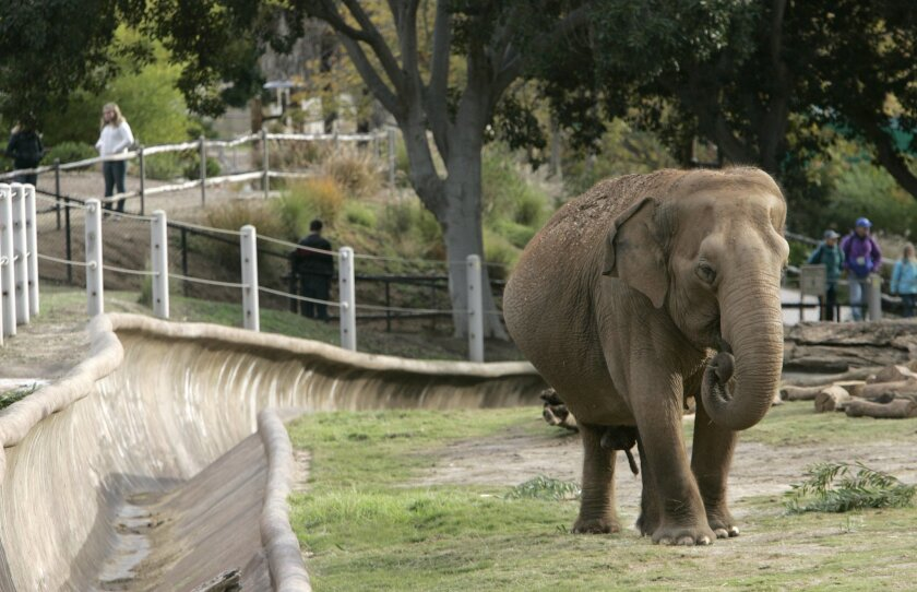 Cookie, an Asian elephant at San Diego Zoo, was euthanized on Jan. 6, 2012.