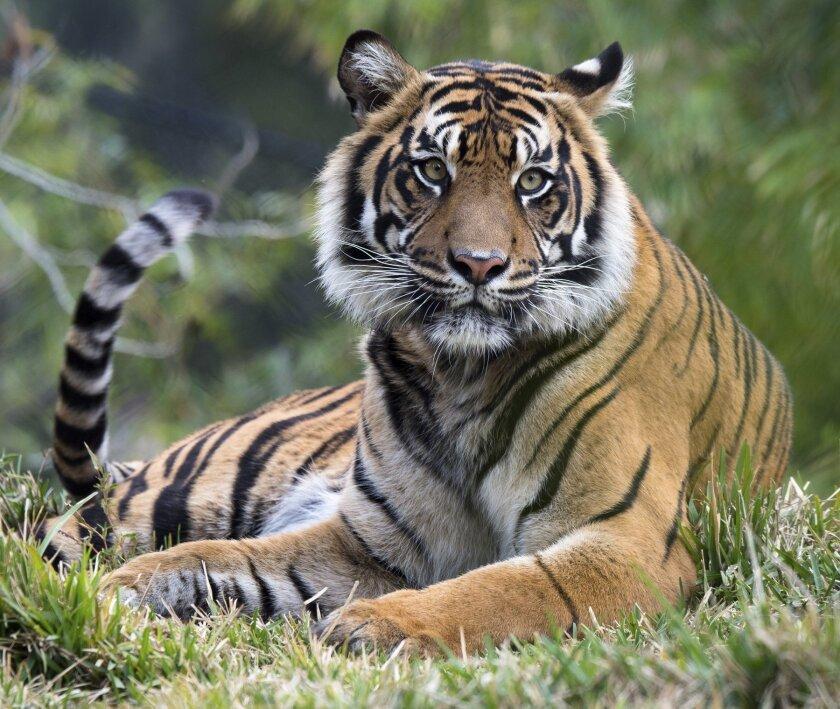Tiger at the San Diego Zoo Safari Park