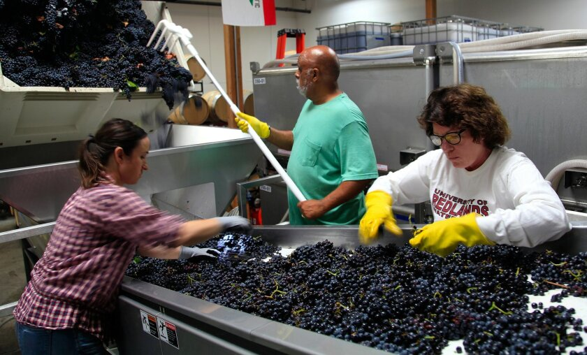 Emily Towe (from left), co-owner and co-winemaker of j° brix, along with cellar worker Bert Wethers and Connie Roberts sort through carignan grapes at the winery's Escondido facility. San Diego wineries are reporting an earlier harvest than usual this year because of the drought and frost earlier i