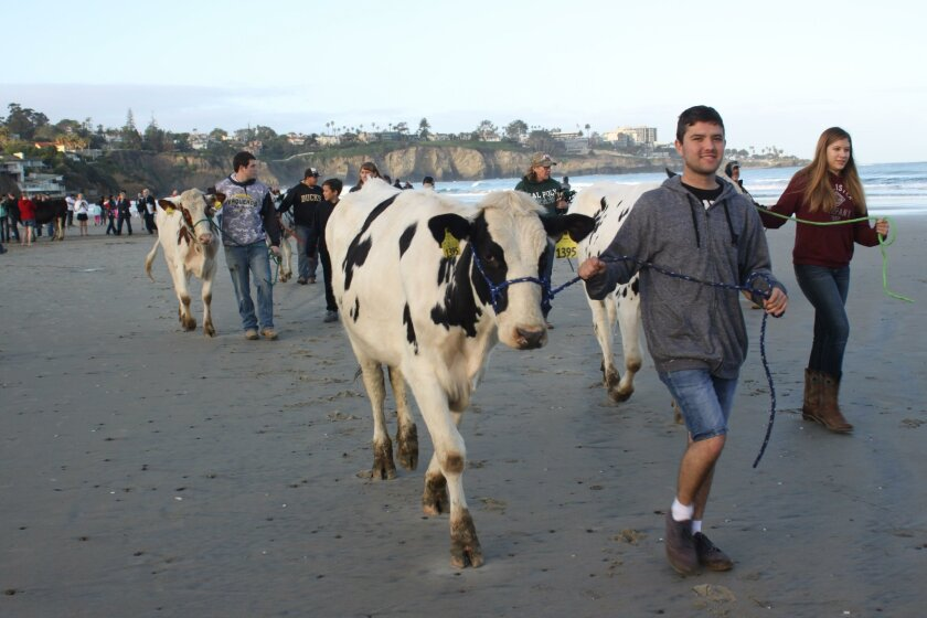 Deja Moo! What are these cows doing on the beach? To mark the 110th anniversary of the famed 'Cows on the Beach' photo of 1906, the La Jolla Historical Society (with help from some Future Farmers of America), recreated the scene early Sunday morning at La Jolla Shores Beach. See more images from th