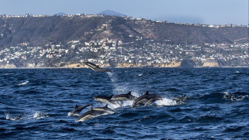 DANA POINT, CA -- FRIDAY, AUGUST 12, 2016: A herd of dolphin leap out of the water with a view of s