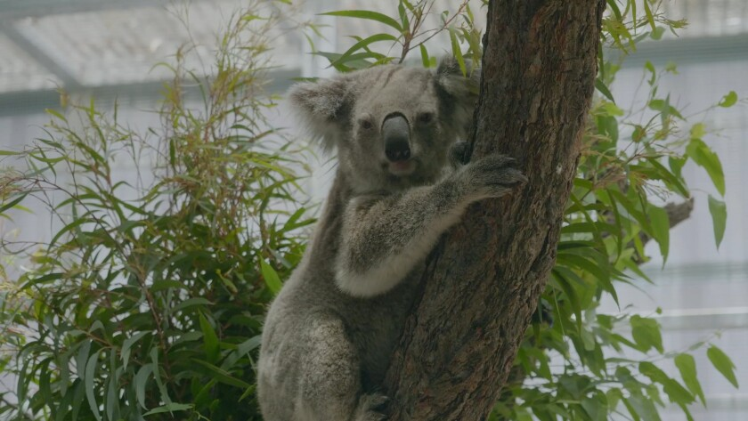 """Three koalas saved from the Australian bushfires will be featured in """"The Zoo: San Diego."""""""