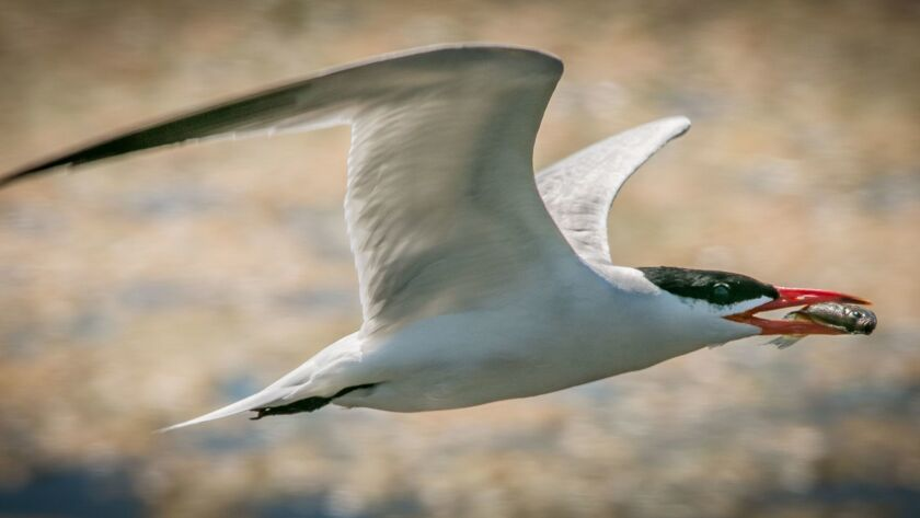 Caspian terns are mainly summer residents in San Diego.
