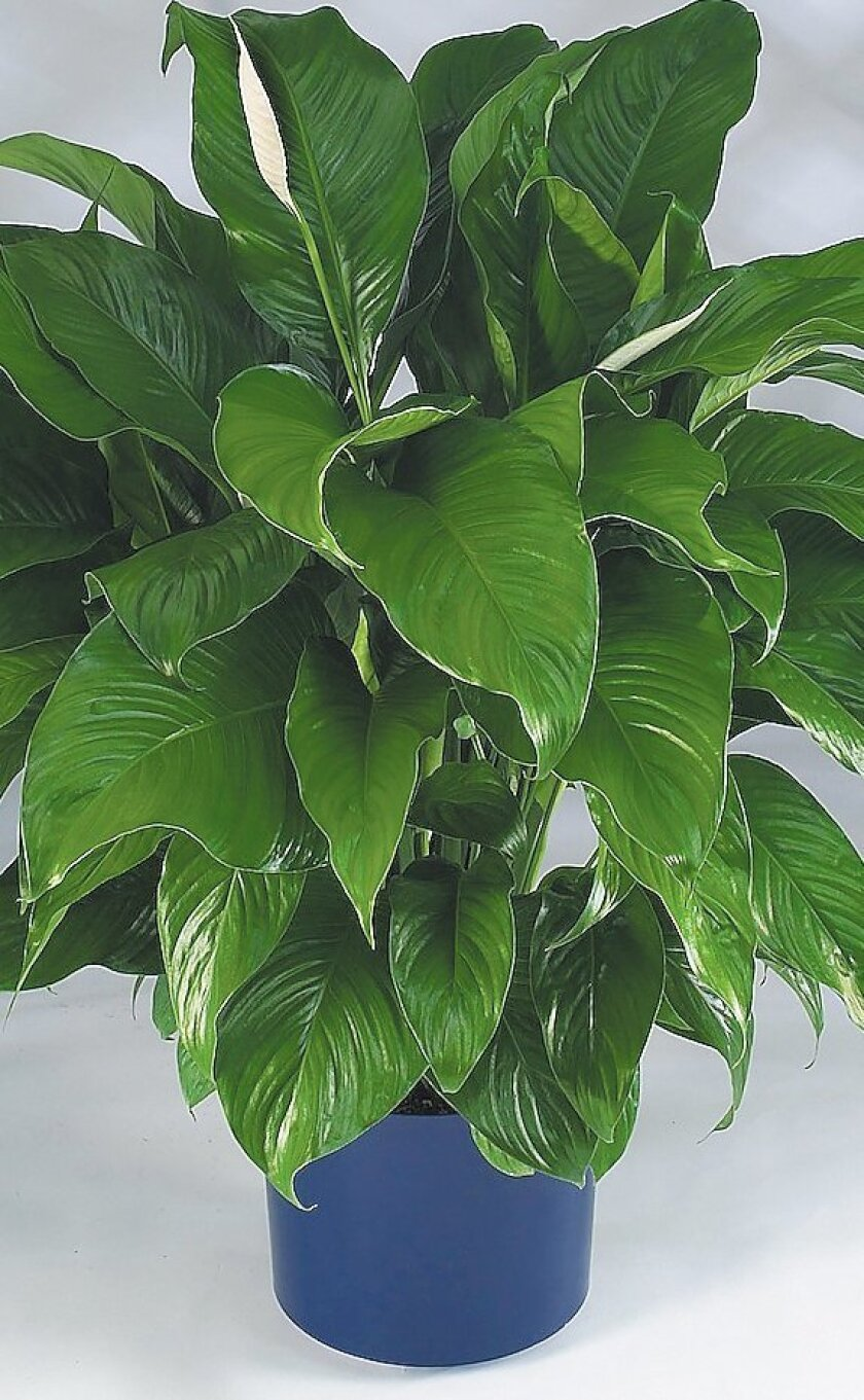 The peace lily helps keep indoor air clean.
