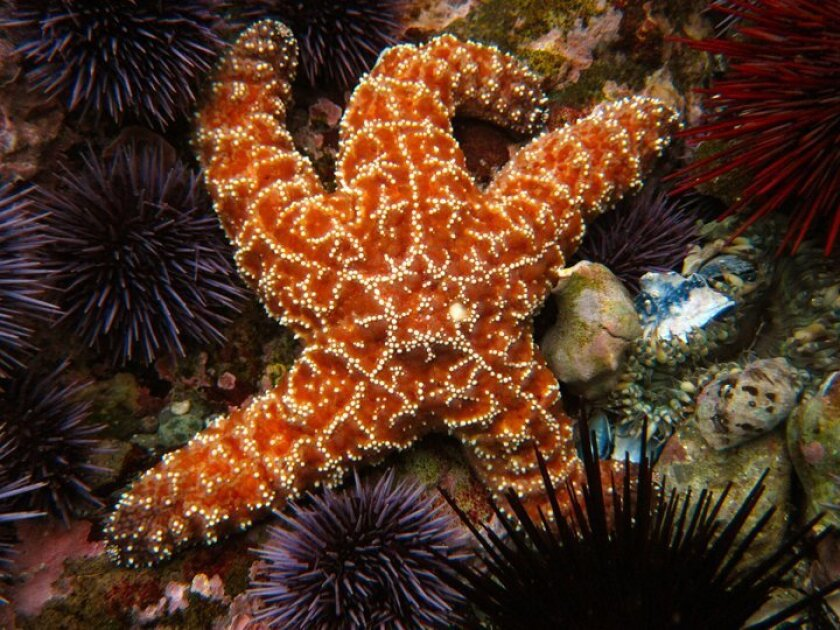 A common predator in the intertidal zone is the ochre seastar. This one is surrounded by purple sea urchins.