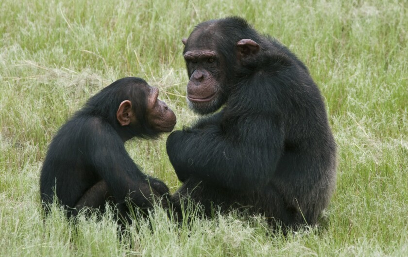 Humans and chimps share cultural roots, study says