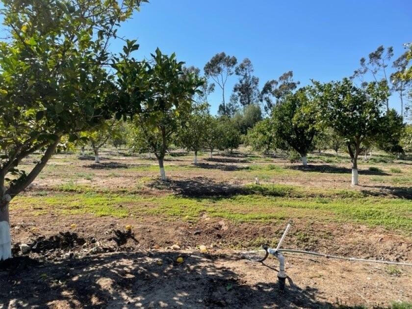 A cirtus grove in Rancho Santa Fe.