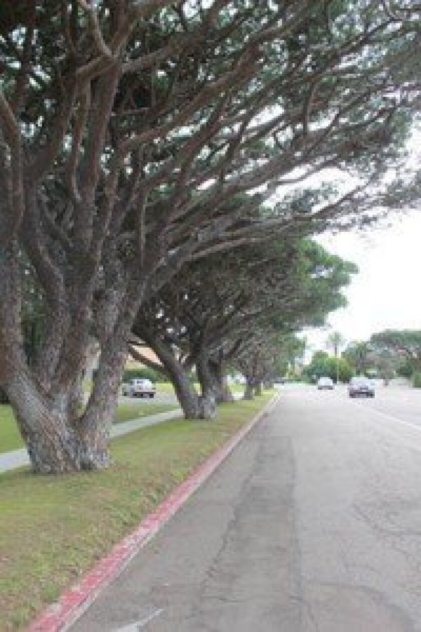This row of italian stone Pines on la Jolla Boulevard are included in the historic cultural landscape survey.
