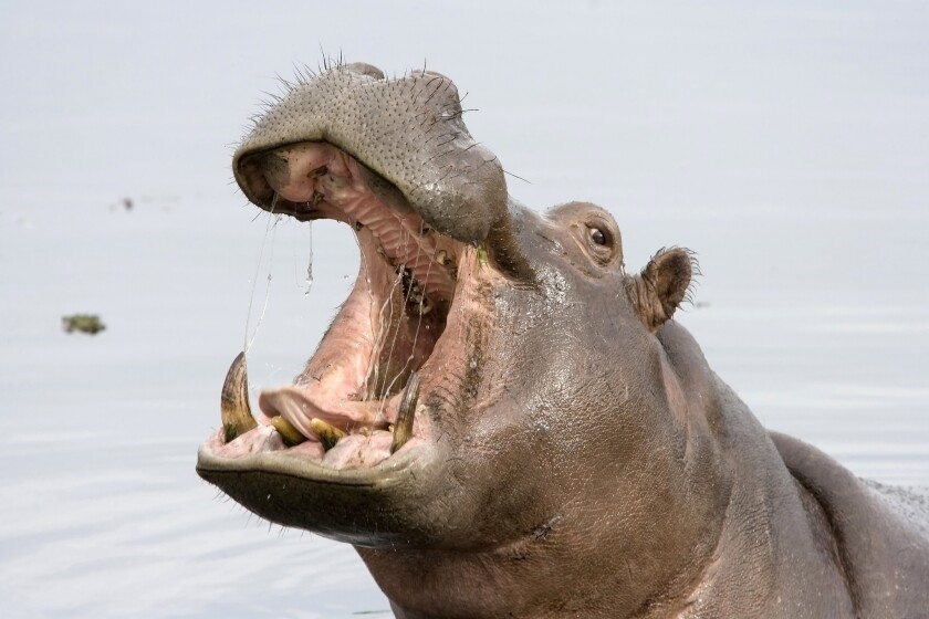(File Photo) A Florida couple's Africa getaway turned into a nightmare when a protective hippopotamus mother attacked — leaving a 37-year-old woman in critical condition.