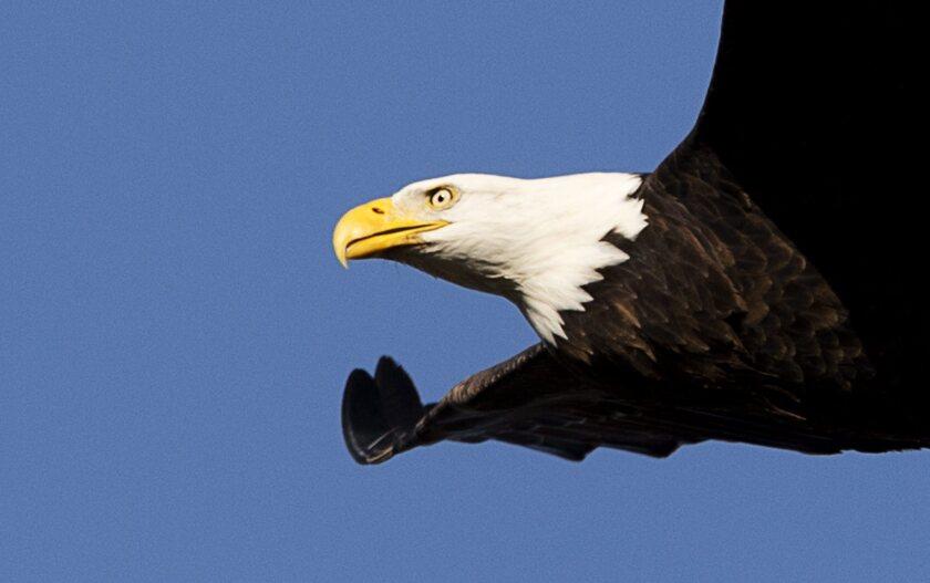 APphoto_Eagle Feeding