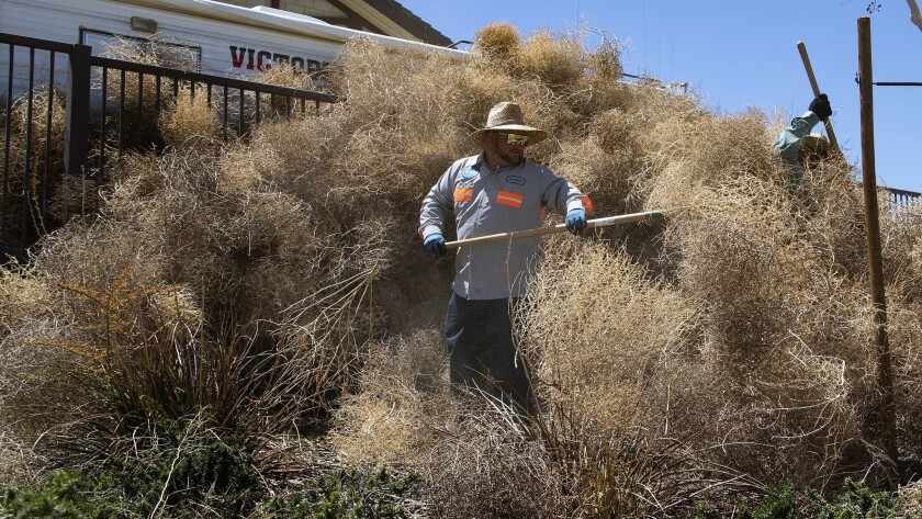 Victorville city worker Andrew Quarton clears a fence-high heap of tumbleweeds that piled up behind a San Bernardino County fire station at Sunset Ridge Park.