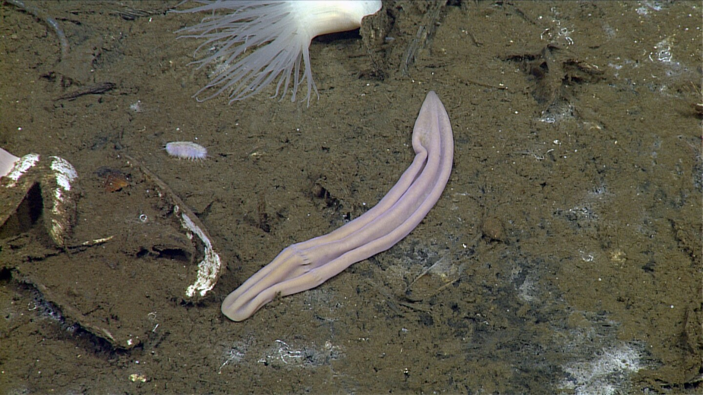 This image shows Xenoturbella profunda, a newly discovered species of deep-sea worm.