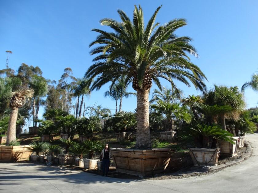 Canary Island Date Palm Specimen