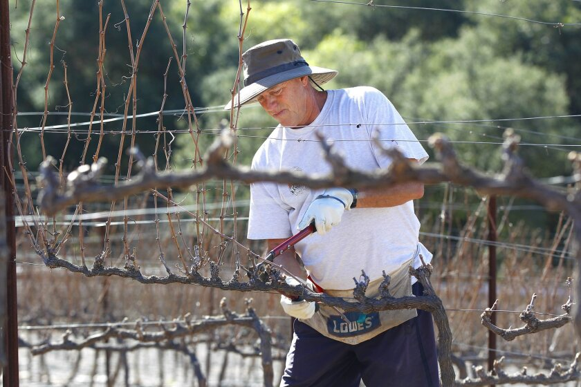 Former fire chief Jeff Bowman trims grapevines. K.C. Alfred • U-T